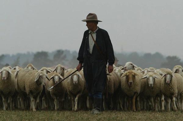 Shepherd sheep 10